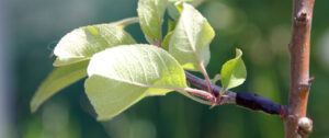 A flowering apple tree in Oakland, Calif. with two successful grafts from an apple tree which bears fruit.